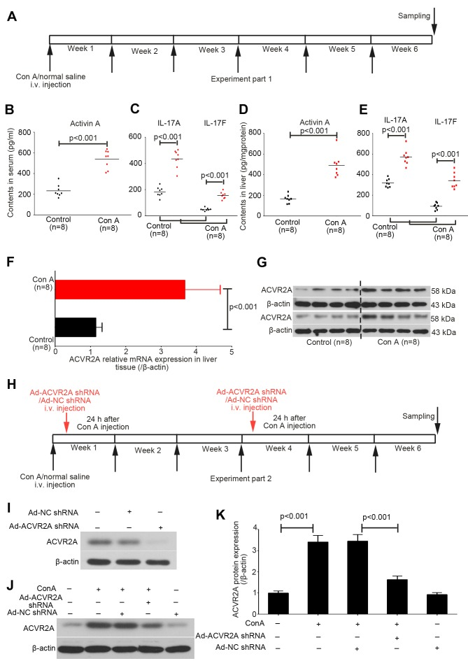 Chronic treatment with Con A induces activation of activin and IL-17 signaling in mouse liver. (A) Experiment part 1: Mice were administered Con A (8 mg/kg/week) for up to 6 weeks, in order to generate a model of immune-associated liver fibrosis. (B–E) Serum and liver levels of activin A, IL-17A and IL-17F were detected in mice in the control and Con A groups using specific ELISA kits. (F) mRNA and (G) protein expression levels of ACVR2A were determined using reverse transcription-quantitative polymerase chain reaction and western blot analysis, respectively. Data are expressed as the means ± standard deviation. (H) Experiment part 2: Mice in the Con A groups were administered two injections of Ad-ACVR2A shRNA or Ad-NC shRNA at the indicated timepoints. (I–K) Protein expression levels of ACVR2A were analyzed in mouse liver tissues collected from the various groups. Data are expressed as the means ± standard error. ACVR2A, activin A receptor type 2A; Con A, concanavalin A; IL-17, interleukin-17; NC, negative control; shRNA, short hairpin RNA.