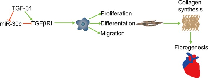 MiR‐30c regulates atrial fibrogenesis. TGF ‐β1 decreased miR‐30c expression. Overexpression of miR‐30c in cardiac fibroblasts inhibited TGF β RII expression, thus preventing cell proliferation, differentiation and migration as well as collagen synthesis and atrial fibrogenesis