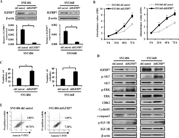 Inhibition of IGFBP7 Expression Promotes Gastric Cancer Cell Growth. (A) Knock-down of IGFBP7 was determined using western blot and qRT-PCR. (B) Inhibition of IGFBP7 expression increased cell proliferation. (C) Colony formation was significantly promoted in IGFBP7 suppressed cells. (D) Western blot analysis was performed with the indicated antibodies on shRNA transduced cells. (E) Quantification of apoptosis by flow cytometry. Data presented mean ± SD and experiments were performed three times in triplicate. *p