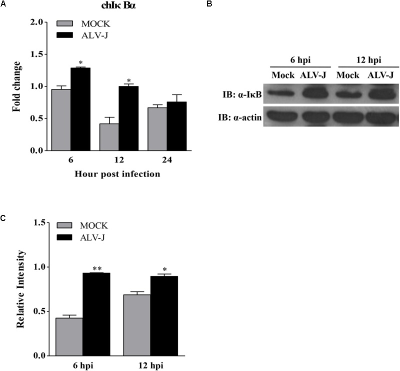 The effect of ALV-J on the expression of IκBα. (A) HD11 cells were infected with ALV-J or medium as a control. At 6, 12, and 24 hpi, total RNA were isolated and subjected to qRT-PCR to detect the transcription profile. Expression levels of chicken IκBα was calculated relative to the expression of the GAPDH gene and expressed as fold increase or decrease relative to the control samples. The graphs show the averages of fold changes from three individual experiments. Results are representative of three independent experiments. Data are represented as means ± SD. ∗ P