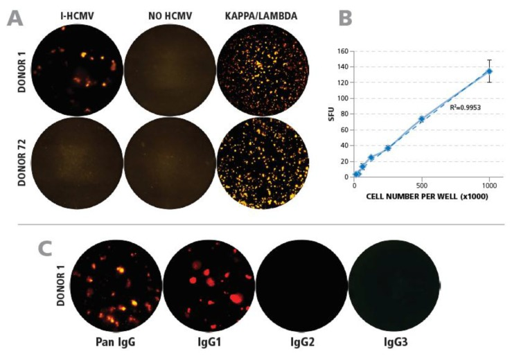 Qualification of detecting HCMV-specific B cells by ImmunoSpot® testing of PBMC. ( A ) Establishing the specificity of the assay. Membranes were coated with either I-HCMV, or with anti-kappa/lambda capture antibody as a positive control, as specified. PBMC of Donor 1 of Donor 72 were added after polyclonal stimulation and plate-bound IgG was detected as described in Materials and Methods. Representative wells are shown. ( B ) Correlation between cell numbers plated and HCMV SFU detected. Preactivated PBMC of Donor 1 were plated in the specified cell numbers and the IgG SFU were counted. The result of regression analysis for the experimental data approaching linearity is specified by the R 2 value. ( C ) Identifying the IgG subclasses of HCMV-specific B cells. Wells were coated with I-HCMV antigen followed by plating of preactivated PBMC of Donor 1. The plate-bound antibodies were visualized using detection antibodies specific for pan-IgG, IgG1, IgG2, and IgG3 as specified.