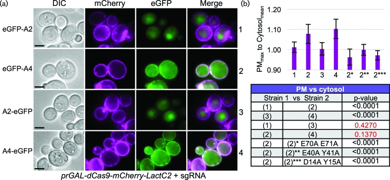 In vivo dCas9 association assay for anti-CRISPR proteins. (a) A yeast strain was constructed harbouring an inducible dCas9 (D10A H840A) fused to both mCherry and LactC2 at its C-terminus (GFY-3104) and transformed with (i) a sgRNA[u1] plasmid (pGF-V1220) and (ii) GFP-tagged AcrIIA2/A4-containing plasmids (pGF-IVL1384 to pGF-IVL1387). Strains were cultured overnight in raffinose/sucrose medium lacking uracil and lacking leucine, back-diluted into synthetic medium containing galactose also lacking uracil and leucine, and grown for 4.5 h at 30 °C. Cells were harvested, washed with water and imaged by fluorescence microscopy. Representative images are displayed. Scale bar, 3 µm. (b) A measure of the ratio between the maximum pixel intensity located on the PM was compared to a sampling of the average cytosolic pixel intensity for the GFP signal ( n =15–30 cells per genotype). Ten random individual measurements were taken for both the PM and cytosolic levels per cell. Error, sd . Three additional <t>AcrIIA4</t> constructs were tested (asterisks) containing sets of two alanine substitutions (pGF-IVL1431 to pGF-IVL1433). Bottom , select strains were compared using an unpaired t -test. Red text, P -values greater than 0.05.
