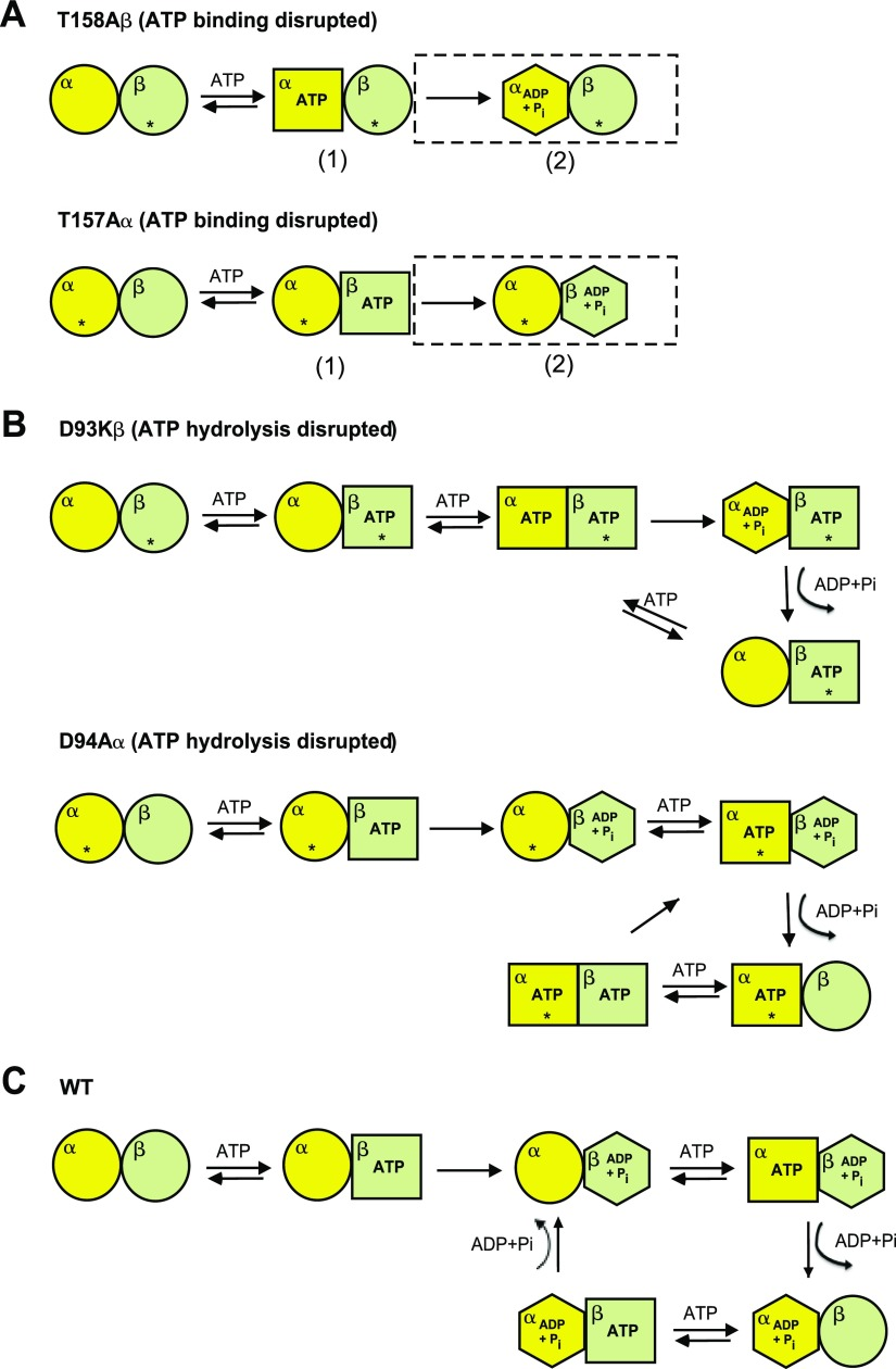 Schematics of proposed <t>ATPase</t> cycle of the ATP-binding ( A ) and -hydrolysis ( B ) mutants and of the WT thermosome ( C ). The circles indicate the apo state, the squares the ATP-bound state and the hexagons the posthydrolysis closed state; the asterisk marks mutated subunits. For graphical clarity, only one of the four pairs of adjacent α–β subunits per ring is displayed. A ) Proposed rearrangements of the ATP-binding mutants. The scheme shows how the ATPase cycle in the unmodified subunit can be blocked either at the ATP-hydrolysis step (population of complex 1) or at the product release step (population of complex 2, boxed). B ) Proposed rearrangements of the ATP-hydrolysis mutants upon ATP binding. The β (tight) subunit has a higher ATPase activity than the α (weak), but both need to bind ATP to allow cycling of the adjacent subunit. For graphical simplicity, the scheme presents only the case in which ATP binds the β subunit first, although the opposite is, in principle, possible. C ) Proposed ATPase cycle for the WT Ta thermosome based on the asymmetric behavior and allostery displayed by the 2 subunits. The events are coordinated by the allosteric requirement for ATP to be bound to 1 subunit for the next one to release the hydrolysis products and be re-engaged in the cycle. Only the case in which ATP binding to 1 subunit is required for ADP and phosphate to be released from the neighboring one is reported (see Discussion for details).