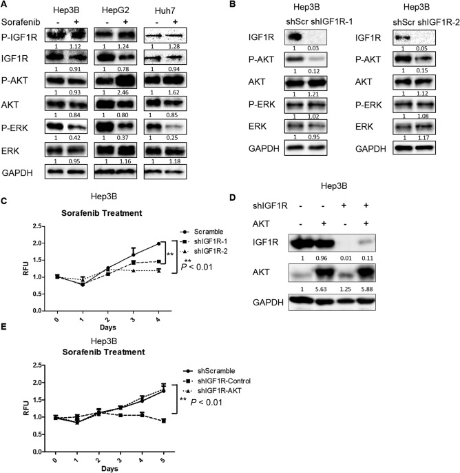 Knockdown of IGF1R enhanced the inhibitory efficacy of sorafenib in HCC cells by inhibiting AKT. (A) HCC cells were treated with sorafenib (1.25 μM for Hep3B, 2.5 μM for HepG2, and 5 μM for Huh7) for 24 hours. Expressions of p‐IGF1R, IGF1R, p‐AKT (ser473), AKT, p‐ERK, ERK, and GAPDH proteins were examined by western blotting. (B) Expressions of IGF1R, p‐AKT (ser473), AKT, p‐ERK, ERK, and GAPDH proteins were examined by western blotting in Hep3B cells infected with IGF1R shRNAs and scrambled shRNA lentiviral particles. (C) Cell proliferation was analyzed by the alamarBlue assay in Hep3B cells infected with IGF1R shRNAs and scrambled shRNA lentiviral particles and then treated with 1.25 μM sorafenib. (D) Expressions of IGF1R, AKT, and GAPDH proteins were examined by western blotting in Hep3B cells infected with scrambled shRNA, IGF1R shRNA, constitutively active AKT, or both lentiviral particles. (E) Cell proliferation was analyzed by the alamarBlue assay in IGF1R knockdown Hep3B cells infected with control or constitutively active AKT lentiviral particles and then treated with 1.25 μM sorafenib. Each experiment was repeated at least 3 times. Abbreviations: GAPDH, glyceraldehyde 3‐phosphate dehydrogenase; RFU, relative fluorescence unit; shScr, short hairpin scrambled. Values in C and E were mean ± SD (n = 3 in each group).