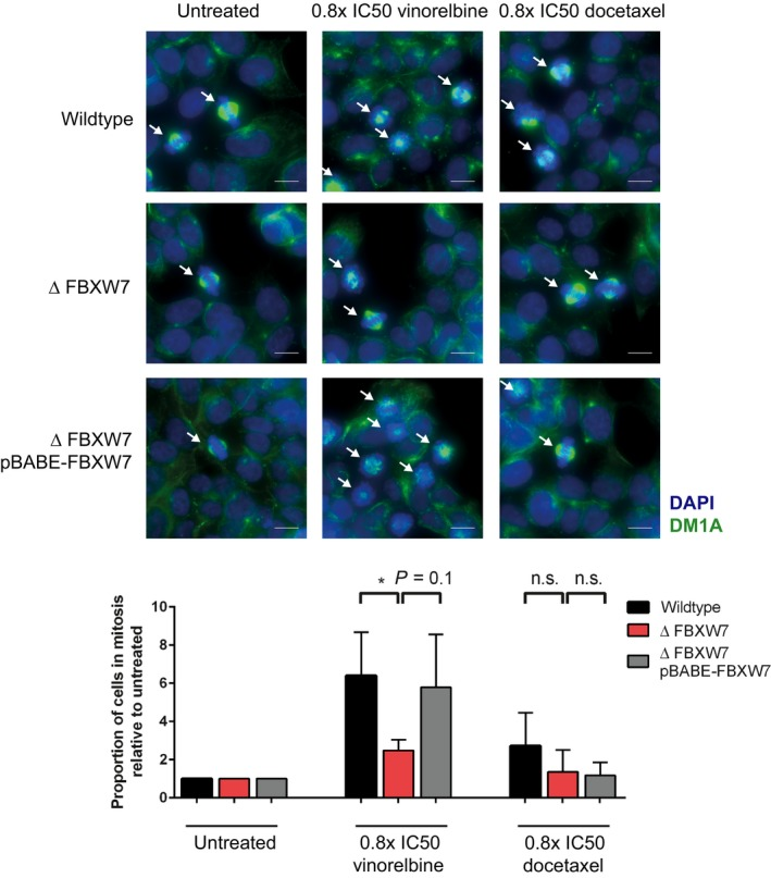Less Δ FBXW 7 cells are in mitosis after 18 h of vinorelbine treatment. Representative images of antitubulin immunofluorescence staining after 18 h of treatment with 0.8× IC 50 of vinorelbine or docetaxel. Cells in prometaphase to anaphase stage of mitosis, indicated with arrows, were counted in 4× 16 adjacent 100× power fields as percentage of total number of cells. Scale bar represents 10 μm. Mitotic cells in the three indicated cell lines, normalized to percentage of mitotic cells without treatment, of one experiment are quantified in the bar blot with SD . Note the significant lower number of mitotic cells in the Δ FBXW 7 cell line. * P = 0.01–0.05, n.s. = not significant, n = 2.
