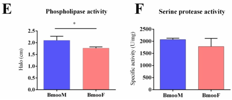 Functional characterization of B. moojeni venom stratified by snake gender. BmooF = female snake; BmooM = male snake. ( A ) Amount of venom released during manual extractions; ( B ) L-amino acid oxidase specific activity determined using o -phenylenediamine as substrate; ( C ) Hyaluronidase specific activity determined by hydrolysis of hyaluronan, measured through a turbidimetric assay. TRU: turbidity-reducing units; ( D ) Metalloproteinase activity determined using the azocasein assay. Results are expressed as relative inhibition of the activity after venom incubation with ethylenediamine tetraacetic acid (EDTA); ( E ) Phospholipase activity determined using egg-yolk agar plate medium. The size of the halos formed indicate the rate of phospholipase activity; ( F ) Serine protease specific activity determined using Nα- p -tosyl-L-arginine methyl ester (TAME) as substrate. The results are expressed as mean ± SD. Statistics (Student's t test): ( A ) * p