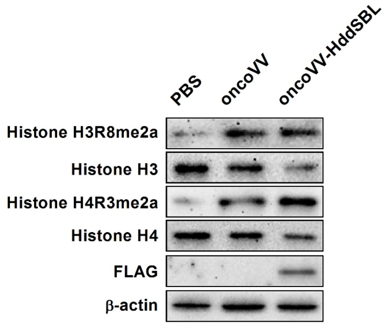 The effect of oncoVV-HddSBL on histone modification. C6 glioblastoma cells were treated with PBS, 5 MOI of oncoVV or oncoVV-HddSBL, and histone H3, H4, H3R8, and H4R3 asymmetric dimethylation levels, as well as the expression of FLAG-tagged HddSBL were analyzed by Western blot.
