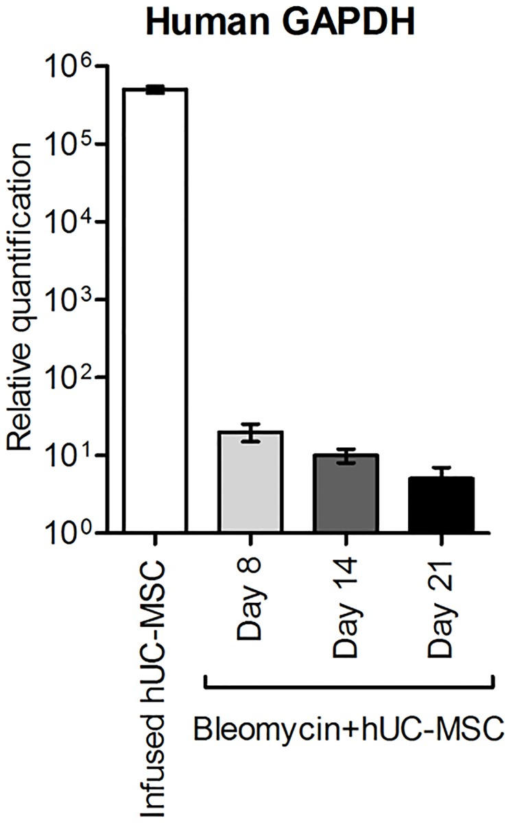 Detection of hUC-MSC by quantitative real-time PCR assay for human GAPDH. Human GAPDH assessed in RNA extracted from cultured hUC-MSC prior to infusion or from lung tissue of <t>C57BL/6</t> mice (n = 5 per group) receiving endotracheal bleomycin followed by intravenous hUC-MSC (bleomycin+hUC-MSC). Days 8, 14, 21 refer to bleomycin administration, and correspond, respectively, to 1, 7 and 14 days after the second hUC-MSC infusion. Results are expressed as mean ± SD (n = 5 per group) and are representative of three independent experiments performed in triplicate.