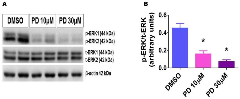 Decreased phosphorylated ERK1/2 protein levels in HPAECs treated with PD98059. HPAECs were treated with dimethylsulfoxide (DMSO) or PD98059 at concentrations of 10 (PD 10) or 30 (PD 30) µM for 30 min, after which whole-cell proteins were extracted, and immunoblotting was performed using antibodies against total ERK1/2, phosphorylated ERK1/2, or β-actin. Representative immunoblot showing total ERK1/2 and phosphorylated ERK1/2 protein expression ( A ). Densitometric analyses wherein the phosphorylated ERK1/2 band intensities were quantified and normalized to those of total ERK1/2 ( B ). The values are presented as mean ± SD ( n = 6/group). Significant differences between DMSO- and PD-treated cells are indicated by * p