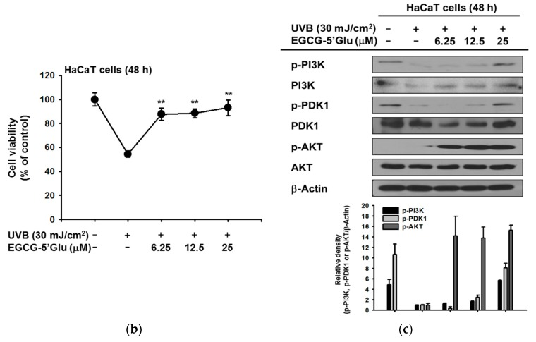 Anti-oxidant effect of EGCG-5′Glu against UVB-induced damage. ( a ) Images of HaCaT cells treated with EGCG-5′Glu (0–25 μM) and UVB (30 mJ/cm 2 ) irradiation for 48 h were captured with a camera attached to the microscope. ( b ) Under UVB irradiation, viability of HaCaT cells with and without EGCG-5′Glu was measured by MTT assay. ( c ) Under UVB irradiation, HaCaT cell were incubated with EGCG-5′Glu for 48 h. Phospho- and total PI3K, AKT, and PDK1 expression was detected by immunoblotting. β-Actin was used as an immunoblotting loading control. ** p
