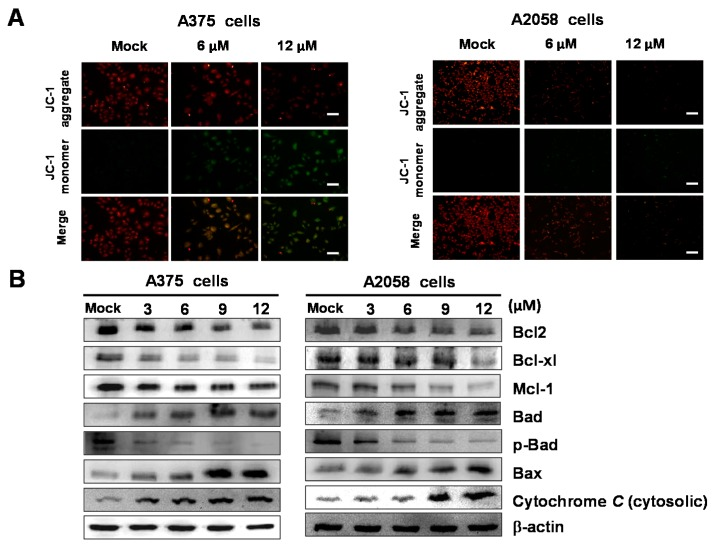 Bornyl cis -4-hydroxycinnamate induced apoptosis through mitochondria potential (Δψm) change and the mitochondrial-mediated pathway in A2058 and A375 melanoma cells. ( A ) A2058 and A375 melanoma cells were treated with or without bornyl cis -4-hydroxycinnamate; Δψm in melanoma cells was detected by <t>JC-1</t> staining and analyzed using fluorescence microscopy. Scale bar: 50 μm. ( B ) Changes in Bcl-2, Bcl-xl, Mcl-1, Bad, p-Bad, Bax, and cytosolic cytochrome C expression in two melanoma cells treated with different concentrations of bornyl cis -4-hydroxycinnamate visualized by western blotting analysis. β-actin was used as the internal control.