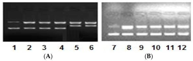 Electrophoretic pattern of pBR322 DNA (100 ng) by ( A ) complex 1 and ( B ) complex 2 (0.5–2.5 μM) in 50 mM Tris-HCl/NaCl buffer pH, 7.4 after 45 min of incubation at various concentrations. Lane 1: DNA alone (control); Lane 2: DNA + 0.5 μM 1 ; Lane 3: DNA + 1.0 μM 1 ; Lane 4: DNA + 1.5 μM 1 ; Lane 5: DNA + 2.0 μM 1 ; Lane 6: DNA + 2.5 μM 1 ; Lane 7: DNA alone (control); Lane 8: DNA + 0.5 μM 2 ; Lane 9: DNA + 1.0 μM 2 ; Lane 10: DNA + 1.5 μM 2 ; Lane 11: DNA + 2.0 μM 2 ; Lane 12: DNA + 2.5 μM 2 .