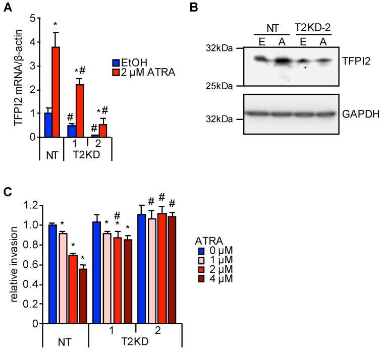 Abrogation of the suppressive effect of ATRA on HuH7 cell invasion by TFPI2 knockdown. ( A ) TFPI2 mRNA expression in HuH7 cells stably transfected with shNT, shTFPI2-1, and shTFPI2-2 (NT, T2KD-1, and T2KD-2 cells, respectively). The cells were treated with EtOH (blue) and 2 µM ATRA (red) for 12 h ( n = 4). * p