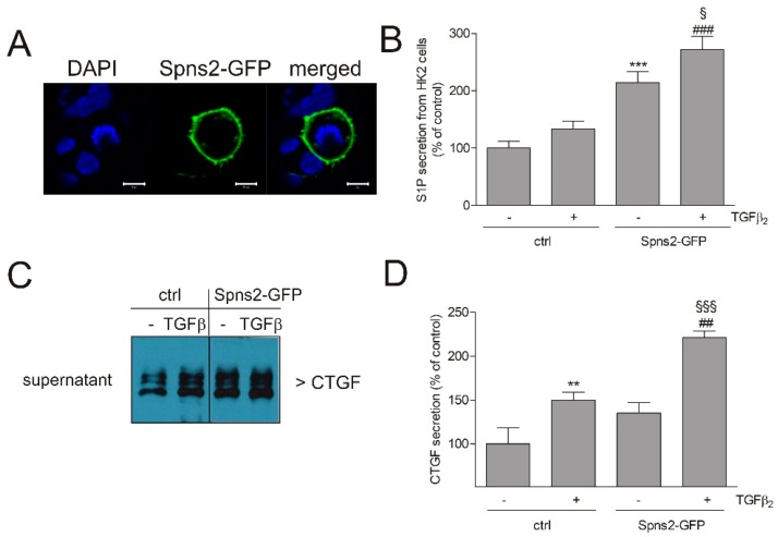 Effect of Spns2-GFP overexpression on localization, S1P release, and CTGF secretion in HK2 cells. Cells were transiently transfected with an empty GFP vector (Ctrl) or a Spns2-GFP vector. ( A ) Confocal picture 48 h post transfection, showing diamidine-phenylindole (DAPI) stained nuclei (blue), or Spns2-GFP (green), or a merged picture. Bars represent 10 μm. ( B ) Supernatants of ctrl cells or Spns2-GFP overexpressing cells, stimulated for 24 h with either vehicle (−) or TGFβ 2 (5 ng/mL, +), were taken for a reporter assay to determine extracellular signal-regulated kinase (ERK) phosphorylation as a readout of S1P receptor activation, as described in the Methods Section. ( C , D ) Supernatants of vehicle (−) or TGFβ 2 (+) stimulated cells were taken for protein precipitation, and proteins were separated by SDS-PAGE, transferred to a nitrocellulose membrane, and then subjected to Western blotting using antibodies against CTGF. Bands were densitometrically evaluated. Data are expressed as % of control and are means ± S.D. ( n = 3–4); ** p