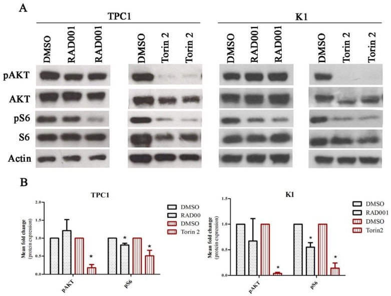 RAD001 and Torin2 effect on TPC1 and K1 cell lines. ( A ) Cells were treated with 20 nM of RAD001 and 450 nM of Torin2 for 72 h. Western blot analysis of RAD001 and Torin2 effect on the activation status of mTORC1 and mTORC2 complexes was evaluated by phospho-S6 Ser235/236 and phospho-AKT Ser473 expression, respectively. Representative actin expression is shown. Protein level in treated cells was evaluated in duplicate. ( B ) Mean fold change of protein expression observed in TPC1 cell line treated with 20 nM of RAD001 and 450 nM of Torin2 in comparison to cells treated with DMSO. Phosphorylated proteins were normalized by the levels of their correspondent total proteins. Results are shown as mean expression value of three independent experiments ±SEM. * p