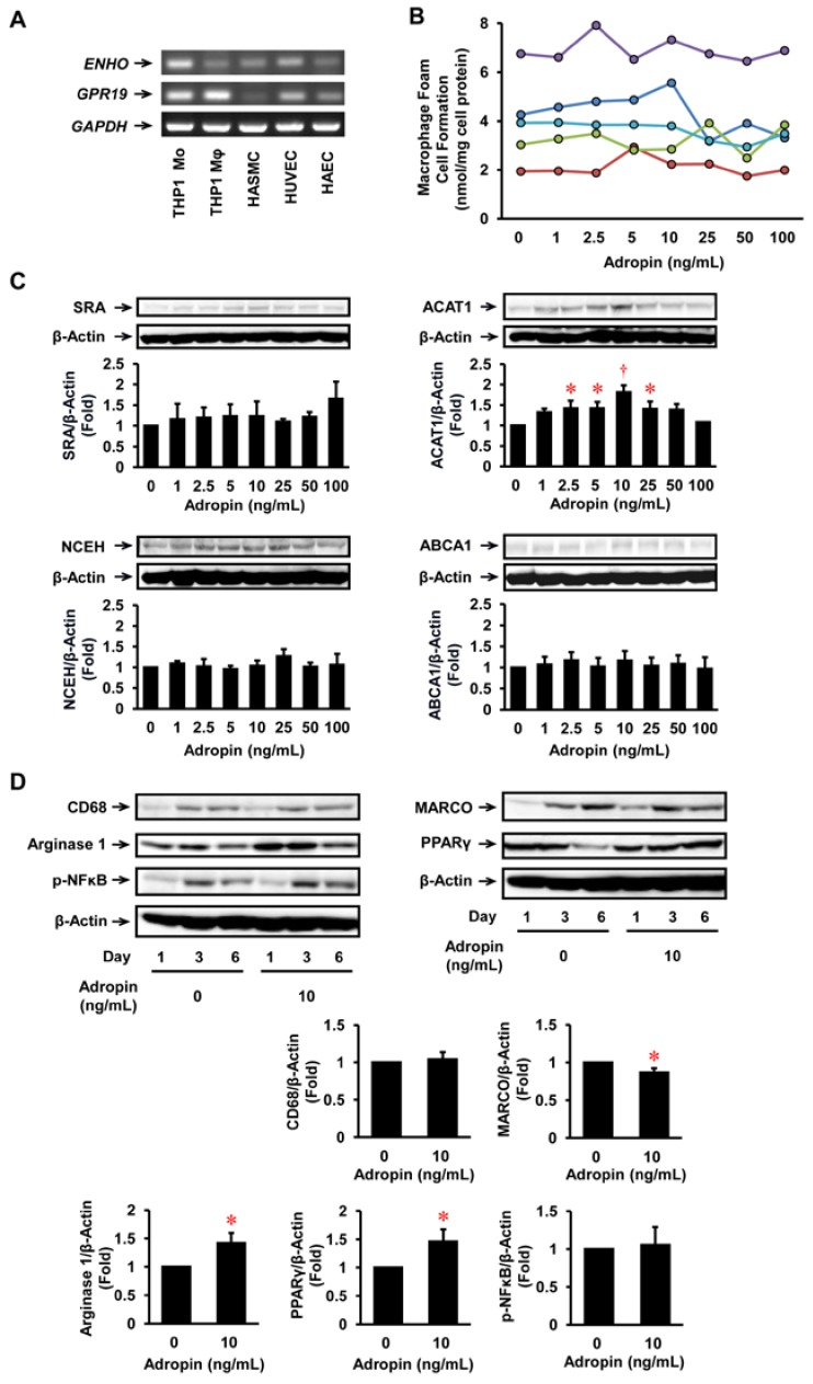 Expression of ENHO (adropin gene) and GPR19 in human vascular cells and the effect of adropin on foam cell formation and inflammatory phenotype in THP1 monocyte-derived macrophages. ( A ) mRNA expression levels of ENHO and GPR19 in THP1 monocytes, their derived macrophages, HASMCs, <t>HUVECs,</t> and HAECs were analyzed by <t>RT-PCR.</t> Glyceraldehyde-3-dehydrogenase ( GAPDH ) served as a loading control. Independent experiments were repeated twice to assure reproducibility. ( B ) THP1 monocytes were incubated for 6 days with the indicated concentrations of adropin, followed by a 19-h incubation with 50 μg/mL oxidized LDL in the presence of 100 μmol/L [ 3 H]oleate. Foam cell formation was determined from reads of the intracellular radioactivity of cholesterol-[ 3 H]oleate ( n = 5). The results from 5 independent experiments are shown in different colors. ( C ) THP1 monocyte-derived macrophages cultured for 6 days were harvested before the addition of oxidized LDL for immunoblot for SRA, ACAT1, NCEH, ABCA1, and β-actin ( n = 5–6). ( D ) THP1 monocytes were incubated for the indicated times with or without adropin (10 ng/mL). Cells were subjected to immunoblot for CD68 (a macrophage differentiation marker), MARCO (an M1 macrophage marker), arginase 1 (an M2 macrophage marker), p-NFκB, PPARγ, or β-actin ( n = 3–4). The graph shows the expressions on day 6. * p