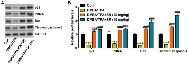 SR promotes apoptosis following DMBA/TPA treatment in mice. (A) The representative images of p21, PUMA, Bax and cleaved caspase-3 protein bands. (B) The quantification of p21, PUMA, Bax and cleaved caspase-3 is shown. Data are presented as mean ± SEM (n=20). + P