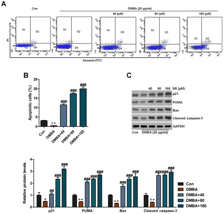 SR induces apoptosis in DMBA-exposed cells in vitro . (A) Flow cytometric analysis was carried out to calculate the apoptotic cells under various treatments. (B) The quantification of apoptotic cells is shown following flow cytometry. (C) Western blot analysis was performed to evaluate p21, PUMA, Bax and cleaved caspase-3 protein levels in cells with DMBA induction accompanied by or without SR administration. Data are presented as mean ± SEM (n=20). + P