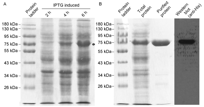 Prokaryotic expression and purification of rhβ2-GP I. (A) The prokaryotic expression fusion protein rhβ2-GP I was identified following 2, 4, 6 h of extension incubation of transfected E. coli BL21 (DE3) cells with 0.1 mM IPTG and bacterium lysate was detected by SDS-PAGE and Coomassie staining, as indicated by the arrow. (B) The fusion protein with His-tag was successfully purified by Ni-NTA chelating agarose and detected by SDS-PAGE and Coomassie staining. Furthermore, the purified protein was detected by western blotting with anti-His antibody and was employed to detected the His-tagged protein (far right). IPTG, isopropyl β-D-1-thiogalactopyranoside; aβ2-GP I, anti-β2-glycoprotein; rh, human recombinant.
