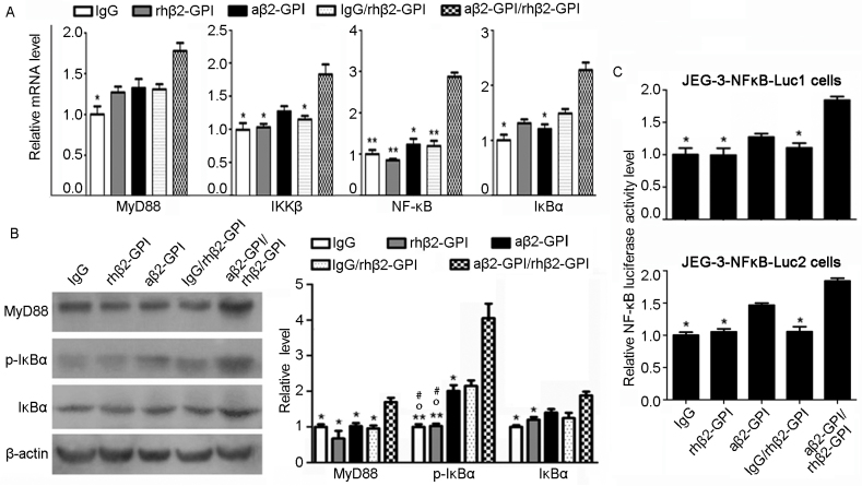 aβ2-GP I/rhβ2-GP I complex induces the activity of NF-κB in JEG-3 cells. (A) Relative mRNA expressions of MyD88, IKKβ, NF-κB and IκBα in JEG-3 cell line. (B) The protein level of MyD88, IκBα and p-IκBα in stimulated JEG-3 cells detected by western blotting. The data statistics of western blot test was performed by Image-Pro Plus 6.0 software. (C) Luciferase activity was measured to assess NF-κB expression. IgG, rhβ2-GP I, aβ2-GP I and IgG/rhβ2-GPI were regarded as controls. *P