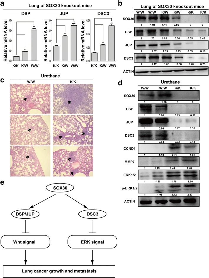 Inhibition of SOX30 promotes tumorigenesis of lung cancer with urethane treatment. a The mRNA expression of DSP, JUP and DSC3 in lung tissues of SOX30-knockout mice were measured by qRT-PCR. b The protein expression of DSP, JUP and DSC3 in lung tissues of SOX30-knockout mice were detected by WB. c Lung tissues were processed and stained with H E for detection of tumor foci. d Tumor extracts were analyzed by WB. ACTIN was used as a loading control. e Schematic diagram of the mechanisms of SOX30 mediated suppression of ADC cell proliferation and metastasis based on our study