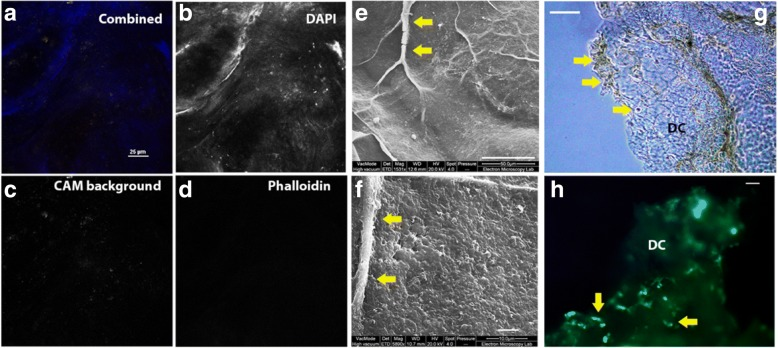 dCAM provides a collagen-rich 3D substrate for cell culture. Laser scanning confocal spectral unmixing was used to determine the residual components after decellularization of CAM (Nikon A1 Plus at room temperature using a × 60 1.40 Plan Apo ∞/0.17 WD 0.13, NA 1.4 lens). a , combined image, b DAPI only, c CAM background only, d , phalloidin for cellular actin cytoskeleton (scale bar for A = 20 μm). Scanning electron microscopy (SEM) was used to characterize the surface of the decellularized tissue (Quanta FEI), e and f show dCAM surface features including vasculature (yellow arrows) and fibrous extracellular matrix (scale bars: E = 50 μm, F = 5 μm). dCAM used as a growth matrix: g shows a bright field image of dCAM during colonization and h shows MDA-MB-231 GFP+ cells adhering and proliferating over the dCAM (DC, yellow arrows). Images G and H were taken using a Zeiss Axio Vert inverted epifluorescence microscope and × 5 Planar Plan Neofl Ph1 0.15 ∞ /0.17 lens with the DS-Fi2 camera, operating at room temperature, scale bars = 1 mm