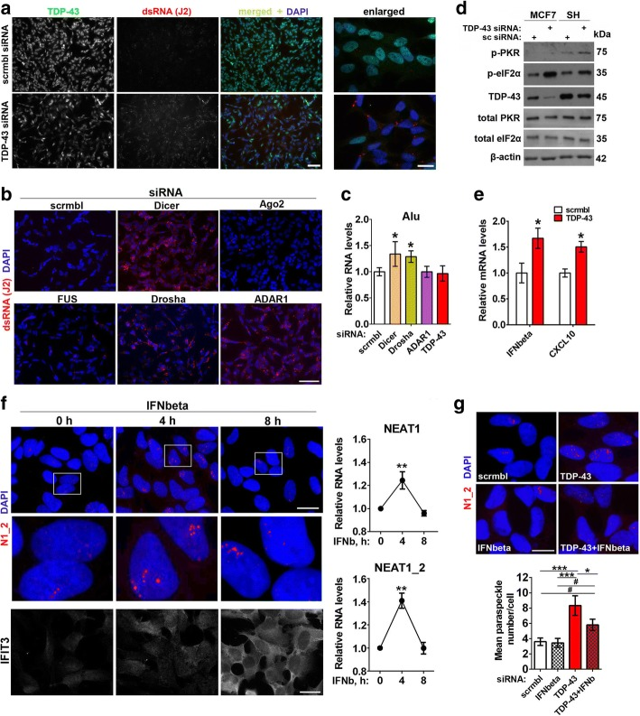 Endogenous dsRNA response and type I interferon promote paraspeckle hyper-assembly in stable cell lines. a and b Depletion of TDP-43, Dicer, Drosha, ADAR1 but not Ago2 or FUS causes intracellular build-up of dsRNA. dsRNA was detected by immunocytochemistry using J2 antibody. Representative images of all conditions are shown. Scale bars, 50 and 10 μm for general plane and close-up panels respectively. c Levels of Alu-containing RNA as analysed by qRT-PCR using specific primers recognising Alu elements (n = 4). *p