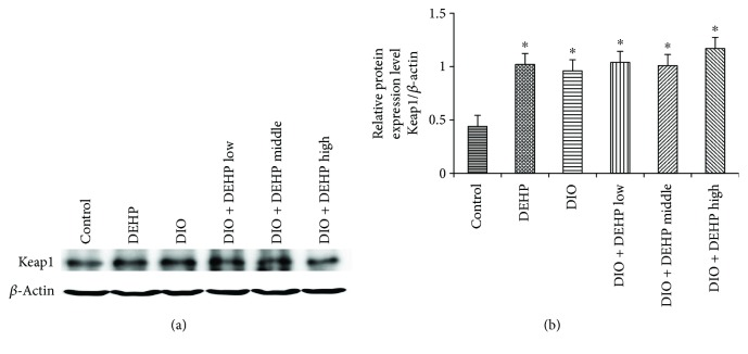Expression of <t>Keap1</t> Protein in the 6 experimental groups of mice. The upper bands (a) depict representative findings in the control, DIO, DEHP, DIO + DEHP, DIO + DEHP middle, and DIO + DEHP high groups. The lower bar graphs (b) show the results of the semiquantitative measurement of Keap1. Each bar represents mean ± SE. n = 4. ∗ indicates a significant difference from the control group, P
