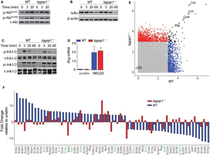 NKG2D signaling and induction of cytokine gene transcripts in Iqgap1 −/− natural killer (NK) cells. (A) Phosphorylation of Akt at Ser 473 and Thr 308 was determined by western blot in NKG2D-stimulated wild-type (WT) and Iqgap1 −/− NK cells at 20- and 60-min post-NKG2D activation and total Akt was used as the loading control (B) Degradation of IκBα is shown after activation with NKG2D in WT and Iqgap1 −/− NK cells at indicated times post-activation with β-actin as the loading control. (C) Phosphorylation of mitogen-activated protein kinases, Erk1/2 (Thr 202 and Tyr 204 ), and Jnk1/2 (Thr 183 and Tyr 185 ), in WT and Iqgap1 −/− NK cells are shown at indicated times post-NKG2D activation with total Erk1/2 and Jnk1/2 proteins serving loading controls. (D) Fold induction of Ifng transcript, relative to unstimulated WT NK cells, was determined by RT-qPCR 4-h post-NKG2D stimulation. (E) Microarray data represented by a scatter plot using a 3-Log2 fold change cutoff. NKG2D-induced cytokine transcripts are labeled. (F) Changes in the induction of solute carrier transcripts. Those that directly regulate amino acid transport are highlighted green. Error bars represent SD using four to five mice in at least two independent experiments (A–D) or four mice of each genotype pooled in one experiment (E,F) .