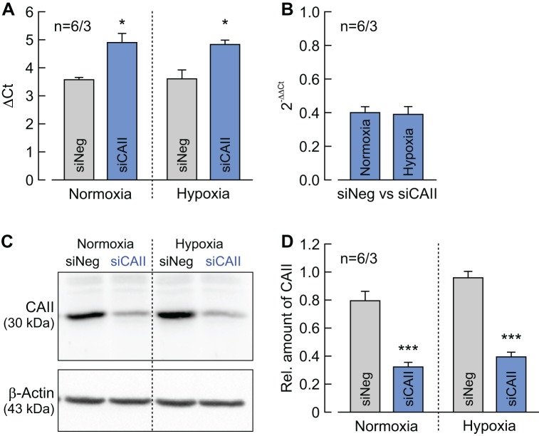 Determination of CAII knockdown efficiency in MCF-7 cells. ( A ) ΔCt values for CAII minus RPL27 of normoxic and hypoxic MCF-7 cells, treated with siRNA against CAII (blue bars) or non-targeting negative control siRNA (gray bars) (mean +SEM). *p≤0.05; Student's t-test. ( B ) Relative change in the RNA level of CAII as given by the 2 –ΔΔCt values for CAII in normoxic and hypoxic MCF-7 cells treated with siRNA against CAII compared to cells treated with non-targeting negative control siRNA (mean +SEM). ( C ) Representative western blot for CAII (upper panel) and β-actin (lower panel) from normoxic and hypoxic MCF-7 cells, treated with siRNA against CAII or non-targeting negative control siRNA. ( D ) Relative intensity of the fluorescent signal for CAII, normalized to the signal intensity of β-actin in the same probe (mean +SEM). The significance indicators above the bars for siCAII refer to the values of siNeg. ***p≤0.001; Student's t-test.