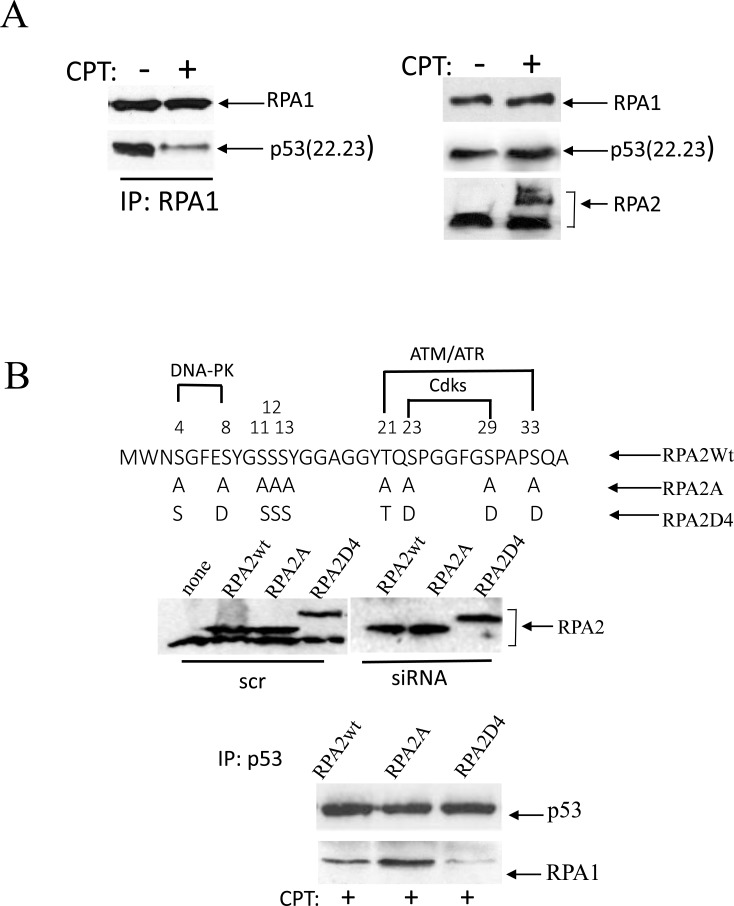 Phosphorylation of RPA in response to replication arrest induced by CPT contributes to the dissociation of the RPA/p53 complex ( A ) Cells were collected for analysis following one-hour treatment with 500 nM CPT. p53-negative H1299 cells were transfected with the transactivation-deficient p53(22.23) mutant. p53 binding was assessed following RPA1 immunoprecipitation. The expression levels of p53(22.23), RPA1 and phosphorylation of RPA2 in untreated cells were used as loading controls. ( B ) The residues within the N-terminal RPA2 domain reported to be phosphorylated by CDKs, ATR/ATM and DNA-PK were replaced with alanine or glutamic acid, thus producing RPA2A or RPA2D4 mutants that imitate non-phosphorylated or phosphorylated forms of RPA2, respectively. The consensus sites for the kinases are indicated. Expression levels of the recombinant wild type RPA2 and the mutants in A549 cells prior to or after siRNA silencing of endogenous RPA2. The cells with the silenced endogenous RPA2 were treated with 500 nM CPT for one hour. After p53 immunoprecipitation, RPA binding was analyzed on western blots with anti-RPA1 antibody.
