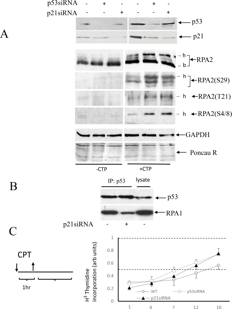 Effect of p53 or p21 Waf1 siRNA depletion on RPA2 phosphorylation and stability of p53 complex with RPA ( A ) A549 cells were collected following one-hour 500 nM CPT treatment and the levels of p53 and p21 Waf1 as well as an overall RPA2 phosphorylation or phosphorylation at the residues Ser 29 , Tyr 21 and Ser 4/8 were analyzed by western blots; -b and -h indicate base non-phosphorylated and hyper-phosphorylated RPA2 forms. GAPDH and Ponceau Red staining were used as protein loading controls. ( B ) In CPT-treated cells, p21 Waf1 was silenced by siRNA as indicated. Stability of the RPA/p53 complex was analyzed by western blots following p53 or RPA1 immunoprecipitation. 15% of the total cell lysate was loaded in the last lane. ( C ) A scheme of cell treatment with CPT used in our experiments. Cells were pulse-treated with 500 nM CPT for one hour and later maintained in a drug-free medium. DNA synthesis in intact A549 cells or its p53- or p21 Waf1 siRNA depleted derivatives was analyzed by the [ 3 H]-thymidine incorporation assay at different time intervals following CPT pulse treatment. The results are normalized to the DNA synthesis rate of untreated cells.