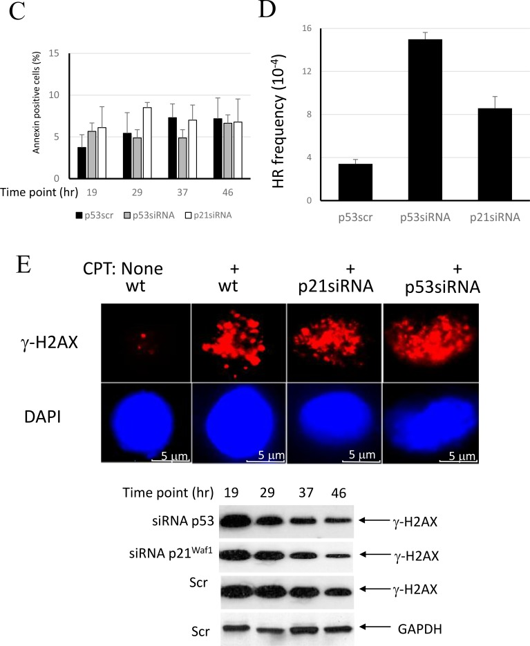 Involvement of the p53/p21 Waf1 axis in regulation of HR in response to replication arrest by CPT ( A ) Control A549 cells or cells with p53 or p21 Waf1 silenced by siRNA were synchronized in mitosis by nocodazole. After release from nocodazole arrest, cells were allowed to progress through the cell cycle and collected at different time-points to evaluate cell cycle progression by flow cytometry. Upon entrance into S phase, the cells were pulse-treated with CPT and later maintained in a drug-free medium. Cell cycle profiles and derivative bar graphs show the relative frequencies of cells in each stage of cell cycle at the indicated time points. ( B ) DNA synthesis was assessed at different time intervals following CPT treatment by [ 3 H]-thymidine incorporation assay and normalized to the DNA synthesis rate of untreated cells. ( C ) The percentages of apoptotic cells at the indicated times were assessed by flow cytometry following staining with FITC-conjugated Annexin V. ( D ) The cell line A549 carries a stably-transfected recombinant reporter construct, pDR-GFP [ 49 ]. The cells were harvested 27 hours following CPT addition and the HR frequencies were analyzed. Chi-square tests detected significant differences between p21siRNA and p53siRNA depleted cells (χ 2 = 26.3; p