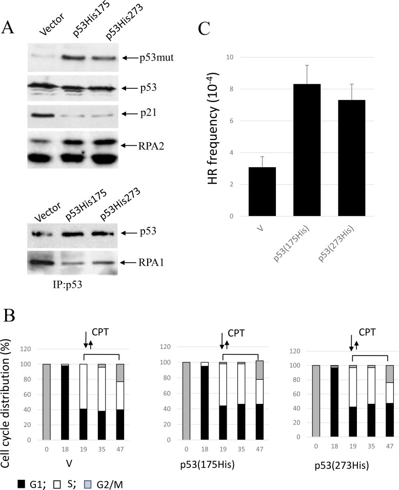 Expression of conformational or DNA-binding p53 mutants, p53(His175) and p53 (His273), in A549 cells affects CPT-induced RPA2 phosphorylation and HR ( A ) Cells were harvested following one-hour CPT treatment at 500 nM. Expression of p53, p21 Waf1 and an overall RPA2 phosphorylation were analyzed by western blot with antibodies specific for p21 Waf1 , RPA1, mutant p53 (ab32049, Abcam) or for both wild-type and the mutant p53 (Pab240, Abcam). It was experimentally shown that ab32049 antibody (Abcam) does not react with wild-type p53 in A549 cells. Binding of p53 to RPA in the parental or the p21 Waf1 -depleted cells was analyzed by western blotting following p53 immunoprecipitation with anti-p53 antibody (Pab240, Abcam). ( B ) Parental A549 cells or cells expressing p53 (His175) or p53 (His273) were synchronized with nocodazole, pulse treated with CPT at the entry to S phase and later maintained in drug-free medium. Bars represent the relative cell frequencies at different stages of the cell cycle at the indicated times. ( C) HR frequency within pDR-GFP recombination substrate were measured 28 hours following CPT treatment.