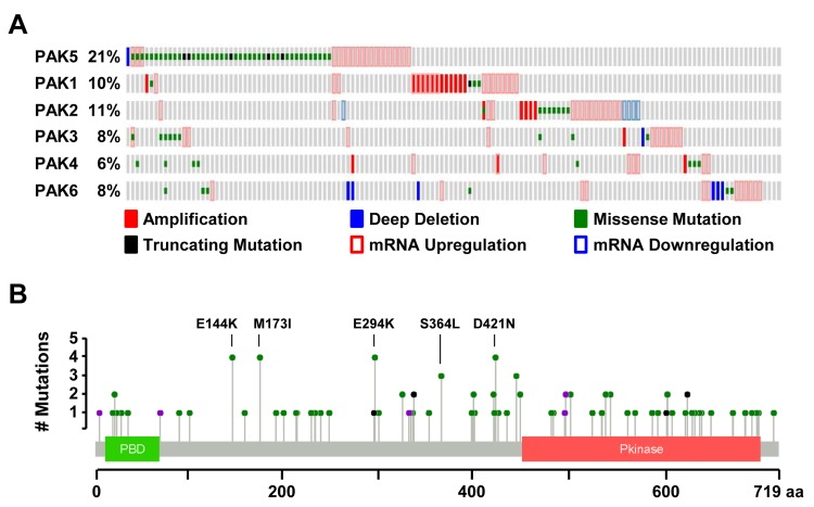 PAK5 is the most frequently altered PAK family member in melanoma A. Oncoprint generated in cBioPortal depicting alterations in the PAK gene family for 287 melanomas collected by TCGA (provisional data accessed on 08/2016). PAKs are divided into two groups based upon protein sequence homology: group I (PAK1, PAK2 and PAK3) and group II (PAK4, PAK5, and PAK6). B. Protein diagram of human PAK5 depicting the location and frequency of melanoma-associated variants. Green dots represent missense mutations, black dots represent truncating mutations, and purple dots represent splice-site mutations.
