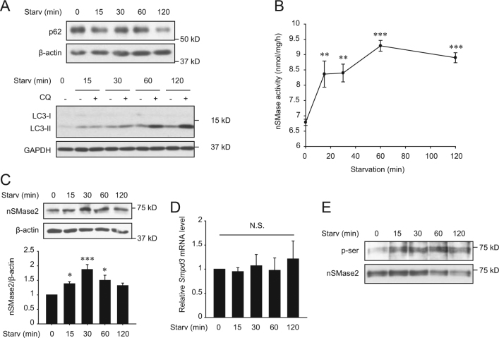 Nutrient starvation upregulates nSMase2. PC12 cells were starved with HBSS for the indicated times. a Induction of autophagy by nutrient starvation in PC12 cells. Degradation of p62 and LC3 turnover were detected by immunoblotting for assessing autophagic flux. For LC3 turnover assays, cells were starved with HBSS with or without 50 μM CQ for the indicated times. b Activation of nSMase2 by starvation. Specific activity of nSMase2 was analyzed using [ 14 C]-labeled sphingomyelin. c Increase in nSMase2 expression by starvation. Protein expression levels of nSMase2 in starved cells were determined by immunoblotting and were normalized to β-actin levels. d No changes in nSMase2 mRNA levels were induced by starvation. The mRNA levels of nSMase2 were measured by quantitative real-time PCR and were normalized to Hprt1 . e Starvation-induced phosphorylation of nSMase2 at a serine residue. PC12 cells were starved with HBSS for the indicated time, and cell lysates were incubated with biotin-conjugated sphingomyelin (the nSMase2 substrate) followed by pull-down with streptavidin-sepharose beads. The pellets were analyzed using immunoblots to detect serine phosphorylation of nSMase2. The data are presented as the mean ± SEM of three independent experiments. Significant differences, * p