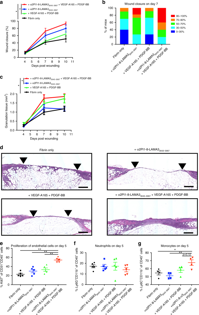 Delivering GFs and laminin HBD peptide enhances skin wound healing. Full-thickness back-skin wounds in 10– 11-week-old C57BLKS/J-m/Lepr db (db/db) mice were treated with combined VEGF-A165 (100 ng/wound) and PDGF-BB (50 ng/wound). Four groups were tested: fibrin only, fibrin functionalized with α 2 PI 1–8 -LAMA3 3043–3067 peptide, fibrin containing admixed GFs, and fibrin functionalized with α 2 PI 1–8 -LAMA3 3043–3067 peptide containing GFs. After 4, 7, and 10 days, a , b wound closure and c granulation tissue area were evaluated by histology (means ± SEM, day 4: n = 6, day 7: fibrin only, and α 2 PI 1–8 -LAMA3 3043–3067 peptide + GFs, n = 10; other treatment groups, n = 11, day 10: α 2 PI 1–8 -LAMA3 3043–3067 peptide, n = 8, α 2 PI 1–8 -LAMA3 3043–3067 peptide + GFs, n = 9, and other treatment groups, n = 7). b The proportions of the mice were categorized by the degree of healing after day 7 of wound treatment. d Wound histology (hematoxylin and eosin staining) at day 7. Red arrows indicate tips of the epithelium tongue. The granulation tissue (pink–violet) is characterized by a large number of granulocytes with nuclei that stain in dark-violet or black. Muscle under the wounds is stained in red. Fat tissue appears as transparent bubbles. Scale bar = 800 µm. e – g A total of 5 days after the wound treatment, e proliferation of CD31 + CD45 – endothelial cells is assessed by Ki67 + marker, and f the frequency of Ly6G + CD11b + neutrophils within CD45 + cells and g the frequency of Ly6C + CD11b + monocytes within CD45 + cells were determined using flow cytometry (means ± SEM). * P
