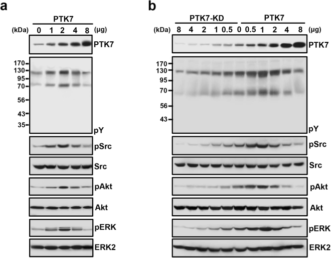 Biphasic regulation of protein phosphorylation in ESCC TE-5 and TE-10 cells by PTK7 expression. Representative Western blots from PTK7-low TE-5 cells 48 h after transfections with increasing amounts of the PTK7 expression vector (pcDNA3-PTK7-FLAG; PTK7) ( a ), and PTK7-high TE-10 cells transfected with various amounts of a PTK7 knockdown vector (pLKO.1-shRNA-PTK7-6434; PTK7-KD) or the PTK7 expression vector ( b ). Levels of tyrosine-phosphorylated cellular proteins (pY), as well as phosphorylated Src, Akt, and ERK, are shown. Numbers to the left of the blots indicate the molecular mass of the marker proteins (kDa). Samples derived from the same experiment and gels/blots were processed in parallel. The blots were cropped to focus upon the specific proteins indicated. Uncropped images of blots are shown in Supplementary Fig. S4 .