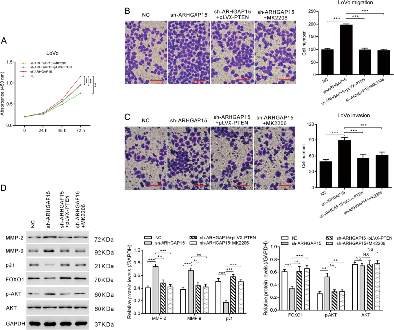 ARHGAP15 influenced the development of CRC via modulating PTEN/AKT/FOXO1-signaling pathway. ARHGAP15-silenced LoVo cells were transfected with pLVX-PTEN or treated with MK2206. Cell proliferation ( a ) was detected by CCK-8 assay. Cell migration ( b ) and invasion ( c ) was detected by transwell assay. Scale bar: 100 μm. Protein levels of related molecules ( d ) was detected by western blot. Experiments were repeated three times independently. NS: no significant difference; ** p