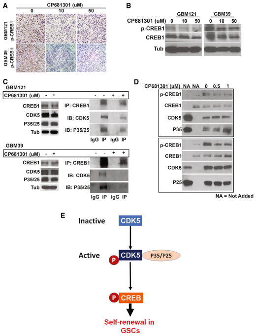 CDK5 Directly Binds to and Phos-phorylates to Activate CREB1 in GSCs (A) CP681301 treatment of mice xenografted explant culture tumors induced a clear down-regulation of CREB1 phosphorylation. (B) Western blot data using these tumor tissues also show downregulation of CREB1 phosphorylation. (C) We then investigated the mechanism by which CDK5 regulates CREB1. We found that Cdk5 can directly bind with CREB1, and CP681301 reduces the binding of CDK5 to CREB1. (D) An in vitro kinase assay showed that CDK5 can phosphorylate CREB1 at serine 133, and CP681301 can suppress this phosphorylation in a dose-dependent manner. (E) Diagram showing our proposed model where CDK5 directly phosphorylates and activates CREB1 without the requirement of cAMP/PKA in GSCs.