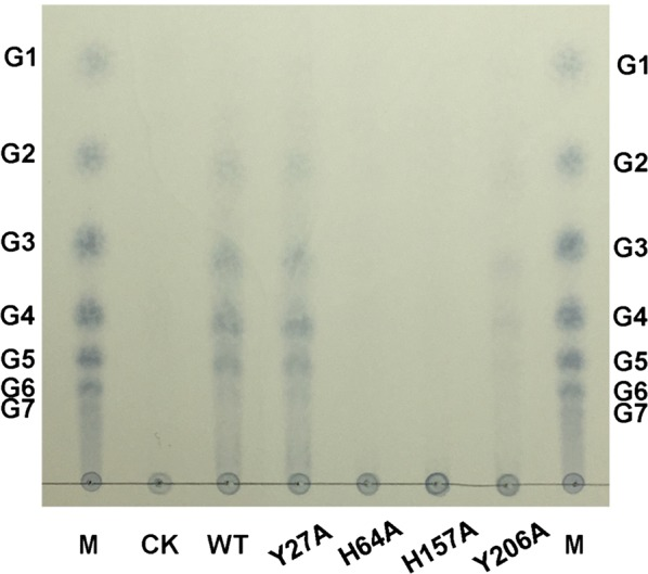 Identification of the mutated CtPMO1 soluble reaction products with PASC as substrate using TLC. Soluble reaction products upon incubation of 0.5% PASC with the mutated CtPMO1 enzymes (Y27A, H64A, H157A and Y206A) in 10 mM HAc-NH 4 Ac (pH 5.0) and 1 mM ascorbate at 50 °C for 48 h. M, standard cellulo-oligosaccharides (G1–G7). CK, samples upon incubation of 0.5% PASC in 10 mM HAc-NH 4 Ac (pH 5.0) and 1 mM ascorbate at 50 °C for 48 h with inactive CtPMO1 treated at 100 °C for 30 min