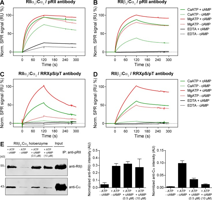 Presence of cAMP increases the binding of pRII antibodies to PKA-II holoenzymes. (A–D) SPR analysis using pRII- (A-B) or RRXpS/pT-specific antibodies (C and D) covalently immobilized on sensor chips. Binding of preformed RIIα 2 :Cα 2 (A and C) and RIIβ 2 :Cα 2 holoenzymes (B and D) was assessed in buffer containing 1 mM MgCl 2 or 1 mM CaCl 2 and 0.5 mM ATP. Dissociation of holoenzymes was induced by adding 10 µM cAMP before SPR analysis. (E) <t>Coimmunoprecipitation</t> of RIIβ and Cα using pRII antibodies captured on <t>protein</t> G functionalized beads. Pull-downs of preformed RIIβ 2 :C 2 holoenzymes were performed in the absence or presence of 1 mM ATP or 0.5 and 10 µM cAMP. Representative immunoblots (left) and densitometry results are shown (right). Values are means ± SD; n = 3. IP, immunoprecipitation; RU, resonance units.