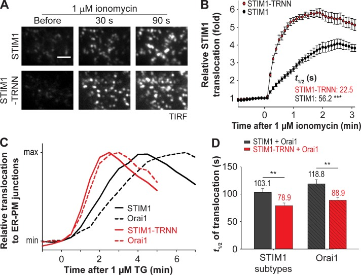 EB1 binding impedes STIM1 translocation to ER–PM junctions and Orai1 recruitment during ER Ca 2+ depletion. (A) Translocation of YFP-STIM1 and YFP-STIM1-TRNN to ER–PM junctions after 1 µM ionomycin treatment in HeLa cells, monitored by TIRF microscopy. Bar, 2 µm. (B) Relative translocation to ER–PM junctions of YFP-STIM1 and YFP-STIM1-TRNN as described in A. 14–15 cells from three independent experiments. Mean times to half-maximal translocation ( t 1/2 ) are indicated. (C) Relative translocation to ER–PM junctions of YFP-STIM1 subtypes and corresponding Orai1-mCherry after 1 µM TG treatment in HeLa cells, monitored by TIRF microscopy. Black, YFP-STIM1 coexpressed with Orai1-mCherry; red, STIM1-TRNN coexpressed with Orai1-mCherry. Mean traces are shown (15–23 cells from three to four independent experiments). (D) Time to the half-maximal translocation ( t 1/2 ) of YFP-STIM1 subtypes and Orai1-mCherry as described in C. Means ± SEM are shown. **, P