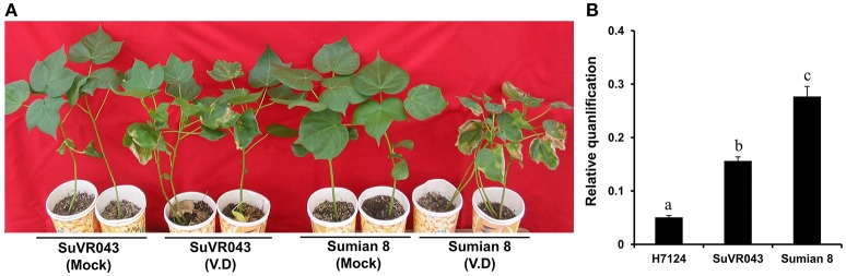 Resistance phenotypes and detection of V. dahliae biomass of two parents, CSILSuVR043 and Sumian 8, after artificial VW inoculation in 2014 in Nanjing. (A) The resistance phenotype of CSILSuVR043 and Sumian 8. The picture was taken 4 weeks after inoculation. (B) Detection of V. dahliae biomass in CSILSuVR043, Sumian 8 and H7124 using qRT-PCR. DNA was extracted from the lower 2 cm of stems 21 days after inoculation with V. dahliae . The relative average fungal biomass is shown with standard errors. The letter indicates significant differences according to Duncan's multiple range tests ( p