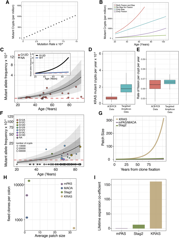 Expansion Coefficient Predicts Age-Related Mutation Burden (A) Simulation demonstrating mutation rate determines accumulated mutation burden at age 60 years for neutral genes. (B) Simulated mutation burden of the colon plotted against patient age for notional genes sharing a common mutation rate (2 × 10 −6 /mitosis). Plots show neutral outcome (green), mutation conferring increased P R (0.99) only (blue), mutation conferring 3-fold increase in rate of fission only (purple), and mutations conferring both increased 3-fold fission rate and P R of 0.99 (red) that corresponds to the observed consequence of STAG2 mutation. (C) Mutant allele frequency data of KRAS (G12D) mutations from 20 patients determined using allele-specific competitive blocker (ACB)-PCR method. Patient data are represented by red circles. The mean (black line) and 95% CI (grayed area) of the model is shown. Red dotted line shows detection threshold. Inset demonstrating the contribution of fission shows the predicted average accumulation of KRAS (G12D) mutant alleles with inferred elevated (black) and wild-type (blue) fission rates, respectively. (D) Boxplot to show the accumulation of KRAS mutant crypts using both the ACB-PCR method and targeted amplicon sequencing on a separate set of patients. > 95% ME. (E) Boxplot to show percentage of KRAS mutant crypts undergoing fission per year using both the ACB-PCR and targeted amplicon data. > 95% ME. (F) Mutant allele frequency data of KRAS mutations from 126 individuals plotted against age. 13 individuals displayed detectable mutations, and the mean accumulation of mutant allele calculated using the model is plotted (black line) as well as the 95% CI. Red dotted line shows detection threshold. (G) The calculated patch size of crypts mutant in respect of KRAS , STAG2 , or MAOA /mPAS shows a significant expansion of KRAS mutant patches in the human colon following clone fixation. (H) The average patch size of each clonal mark plotted against the number of f