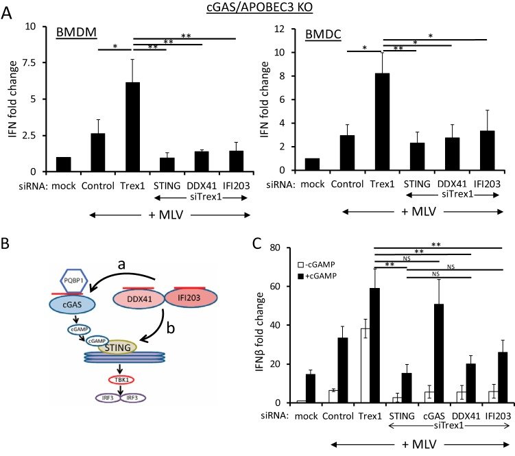 DDX41 and IFI203 work together with cGAS for the maximal antiviral response. (A) Knockdown of STING, DDX41, and IFI203 in cGas / Apobec3 double-knockout BMDMs and BMDCs. Cells were transfected with the indicated siRNAs, and 48 h later, cells were infected with MLV. At 2 hpi, the cells were harvested and examined for IFN-β RNA levels. Knockdown verification of the genes is shown in Fig. S1A in the supplemental material. Values are shown as means ± standard deviations (SDs) from three experiments, each with macrophages and DCs from a different mouse. P values were determined by unpaired t tests (NS, not significant; *, P ≤ 0.05; **, P ≤ 0.01). (B) Diagram shows the cGAS-cGAMP-STING pathway. The arrows labeled a and b represent the possible points of DDX41 action; cGAMP addition would rescue DDX41 knockdown if it acted at point a but not if DDX41 acted at point b in the pathway. The red lines represent viral reverse transcripts. (C) cGAMP rescues cGAS but not STING, DDX41, or IFI203 knockdown. NR9456 macrophages were transfected with the indicated siRNAs and 24 h later transfected with cGAMP. At 18 h post-cGAMP treatment, the cells were infected with MLV; IFN-β RNA levels were measured at 2 hpi. Values are shown as means ± SDs from three experiments. Knockdown verification of the genes is shown in Fig. S1B . Mock indicates mock-infected cells.