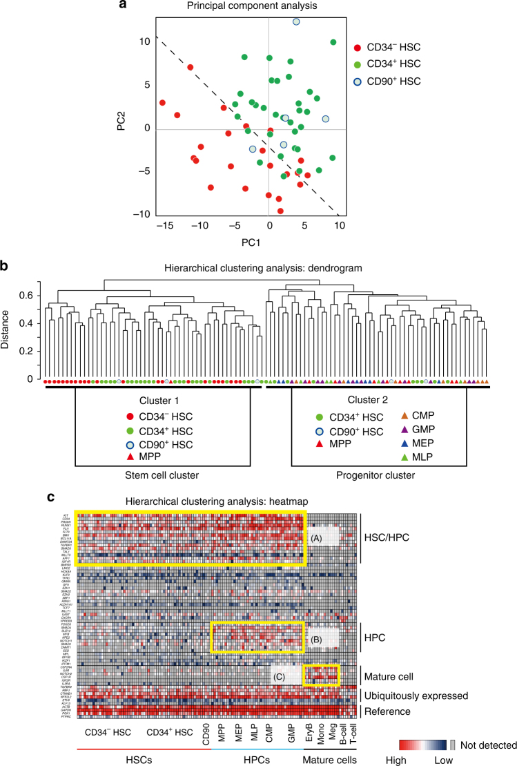 Single-cell-based gene expression profiles of human CB-derived CD34 + and CD34 − HSCs. Using highly purified human CB-derived 18Lin − CD34 + CD38 − CD133 + GPI-80 + and 18Lin − CD34 − CD133 + GPI-80 + cells, we performed a single-cell-based gene expression analysis. The immunophenotypes of target cells, including controls, are presented in Supplementary Data 6 and the 79 target genes that play important roles in the pathway of HSC development/differentiation 63 are listed in Supplementary Data 7 . a A principal component analysis (PCA) revealed that the gene expression profiles in individual CD34 + ( n = 33) and CD34 − HSCs ( n = 23) were clearly different. The gene expression profiles of individual CD90 + HSCs ( n = 5) were similar to those of CD34 + HSCs but not to those of CD34 − HSCs. The dotted line represents the border region between the CD34 + and CD34 − HSCs calculated by a Fisher's linear discriminant analysis. b An unsupervised hierarchical clustering analysis (Dendrogram) clearly showed two clusters, 1 and 2. Interestingly, all CD34 − HSCs belong to cluster 1. Three subgroups were detected in cluster 1. The left-most subgroup uniformly contained 10 CD34 − HSCs. The remaining 13 CD34 − HSCs were scattered between the other two subgroups mixed with CD34 + HSCs and CD90 + HSCs and MPPs. In contrast, some of the CD34 + HSCs and CD90 + HSCs, most of the MPP, and all other HPCs (CMP, GMP, MEP and MLP) belonged to cluster 2. These results demonstrated that the gene expression profiles of CD34 − HSC were unique and largely differed from those of other classes of CD34 + HSPCs. c A hierarchical clustering analysis of 62 genes (heatmap) detected 3 clusters ( a – c ), which are highlighted with yellow squares. Cluster (A) contained HSC/HPC-related genes, including RUNX1 , BMI1 , DNMT3a and SCL/TAL1 , in addition to CD34 and PROM1 (CD133). Cluster (B) contained HPC-related genes, including MYB , FOXO3A , SMAD4 , NFE2 and NOTCH1 . Cluster (C) contained mature cell-rel