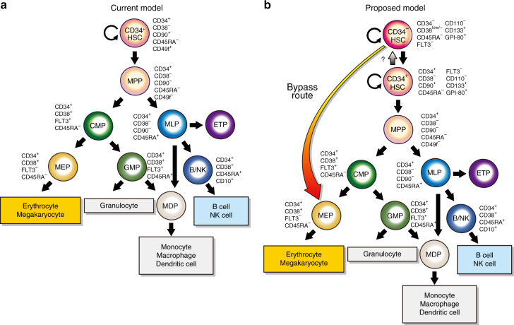 The current and proposed models for human HSC hierarchy. a The current model 1 – 3 for the human HSC hierarchy. CD34 + HSCs as defined by a CD34 + CD38 − CD45RA − CD90 + CD49f + immunophenotype differentiate into MPPs, CMPs, MLPs, GMPs and MEPs. b The model 19 , 20 proposed based on our series of studies 18 , 21 , 22 , 25 , 33 – 36 , 60 , in which CD34 − HSCs are defined by a CD34 − CD38 low/ − CD45RA − FLT3 − CD110 − CD133 + GPI-80 + immunophenotype. CD34 − HSCs generate CD34 + HSCs in vitro 25 , 35 , 36 and in vivo 18 , 33 , suggesting that CD34 − HSCs reside at the apex of human HSC hierarchy. CD34 − HSCs, then, differentiate into MPPs, CMPs, GMPs and MEPs according to the current model 1 – 3 . Incorporating the present studies, a revised road map, which allows a commitment/differentiation pathway of CD34 − HSCs directly into MEPs (bypass route), is shown. MPP: multipotent progenitor, MLP: multilymphoid progenitor, CMP: common myeloid progenitor, GMP: granulocyte/macrophage progenitor, MEP: megakaryocyte/erythrocyte progenitor
