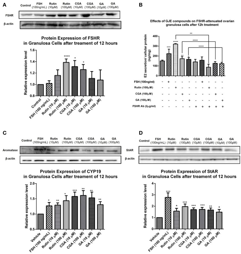 Effects of rutin, CGA, and GA on levels of FSHR, aromatase and StAR in ovarian granulosa cells after 12 h of treatment. (A,C,D) Effects of rutin, CGA, and GA on FSHR, aromatase and StAR expression in ovarian granulosa cells. Ovarian granulosa cells of SD rats were treated with various concentrations of rutin, CGA, and GA respectively for 12 h, respectively, and then total cell lysates were extracted for Western blot analysis by using antibodies specific to FSHR, aromatase and StAR. The representative image and the relative expression levels of FSHR, aromatase and StAR are shown. (B) Estrogen stimulating effect of rutin, CGA, and GA on ovarian granulosa cells with antibody-blocked FSHR diminished. The data were normalized with the internal control β-actin, each value is the mean ± SEM ( n = 4), with * p