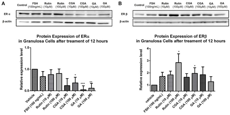 Effects of rutin, CGA, and GA on estrogen receptor expression in ovarian granulosa cells after treatment for 12 h. Ovarian granulosa cells of SD rats were treated with various concentrations of rutin, CGA, and GA for 12 h, respectively, and then total cell lysates were extracted for Western blot analysis by using antibodies specific to ERα and ERβ. The representative image and the relative expression levels analyzed of (A) ERα and (B) ERβ are shown. The loading control of ERβ is reused from that of StAR since they were from the same membrane. The data were normalized with the internal control β-actin, and each value is the mean ± SEM ( n = 4), with * p